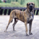 Fila Brasileiro - The Brasilian dog: not for everybody!
