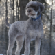Lagotto romagnolo- a lively truffle seeker!