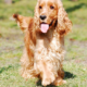 From A Cocker Spaniel To A Poodle: Four Dog Breeds Ideal For Children!